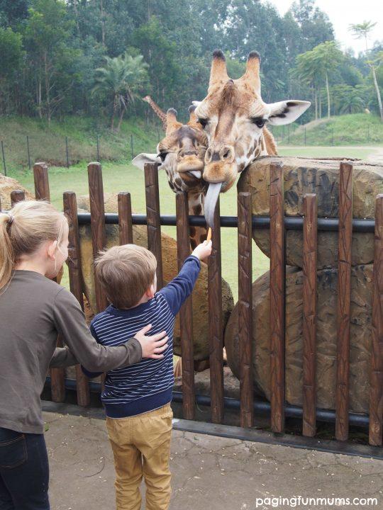 Hand feeding the Giraffes at Australia Zoo