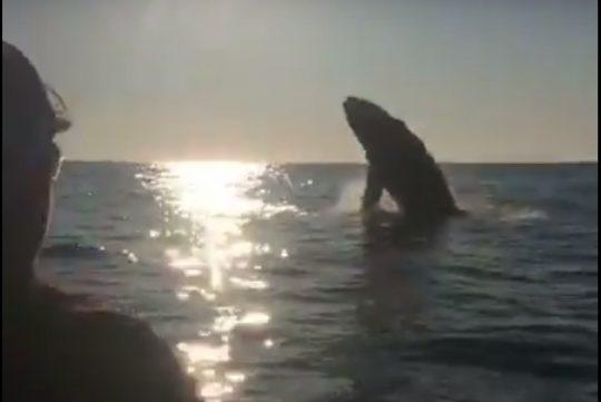 breaching-whale-near-kayak